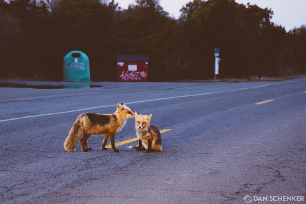 But seriously... the foxes where everywhere!