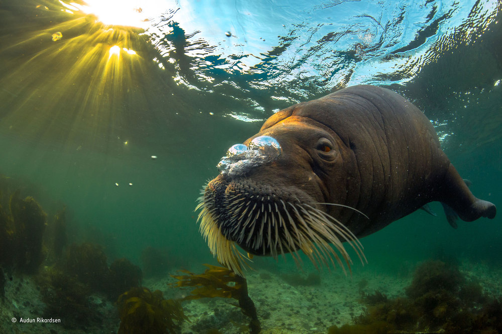 Walrus in midnight sun. Photo: Audun Rikardsen