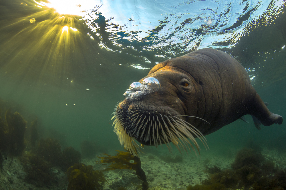 Walrus in midnight sun (WPY 2015) kopi.jpg