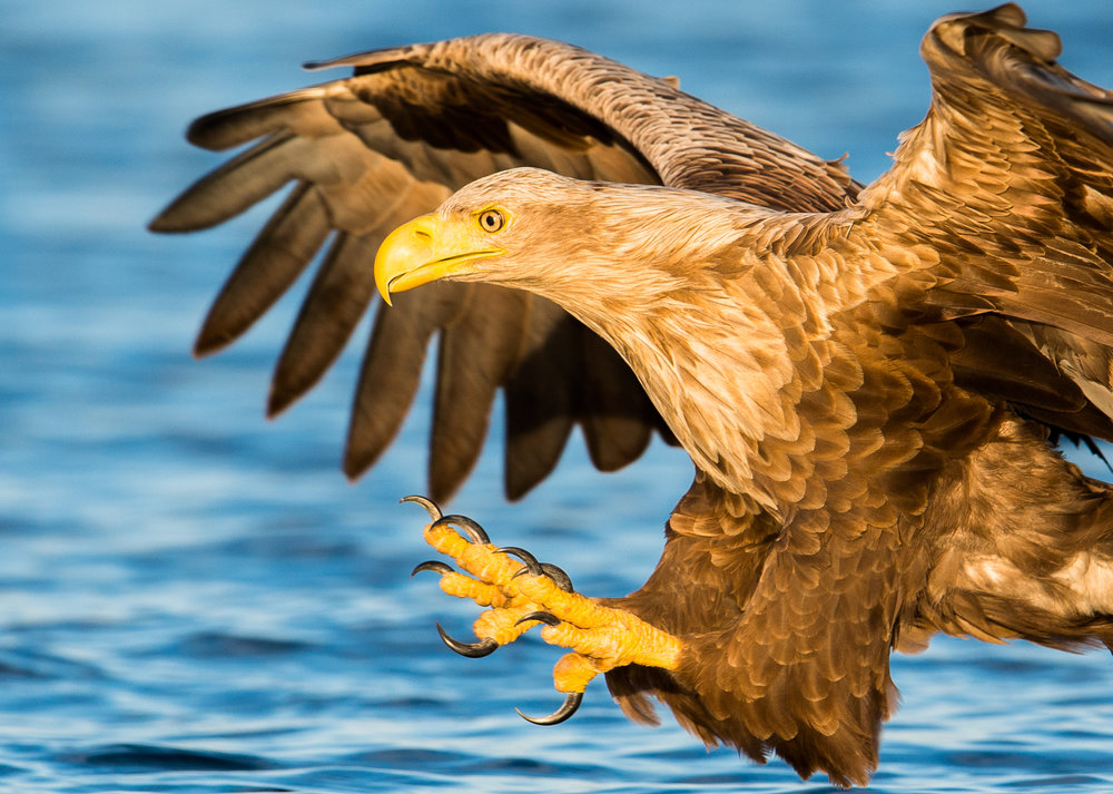 Join us and experience the densest white-tailed eagle population in the world. This expert guided eagle safari offers fantastic photographic opportunities!   Photo: Smøla Naturopplevelser