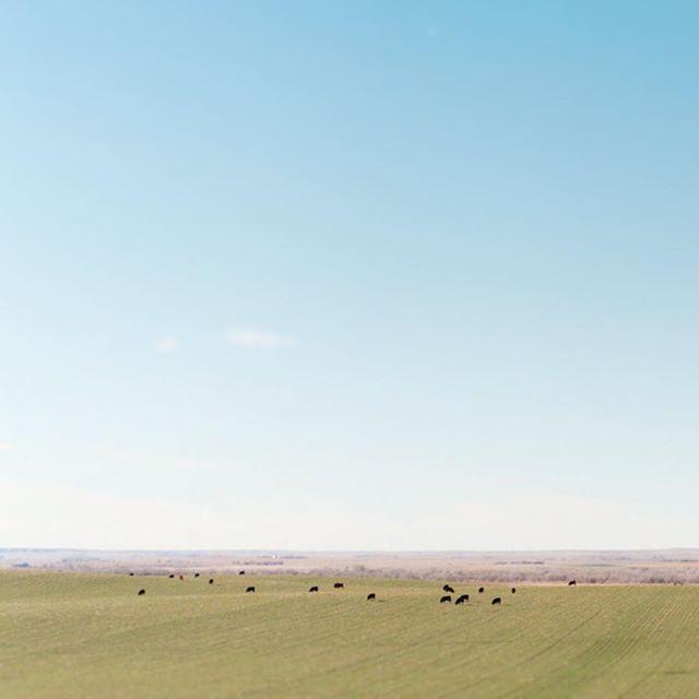 This is what eastern Colorado looks like. . . . . . #minimalist #minimalism #vsco #filmisnotdead #portra400 #rsa_minimal #tv_simplicity #kodakfilm #cows #prairieskies #simplicity