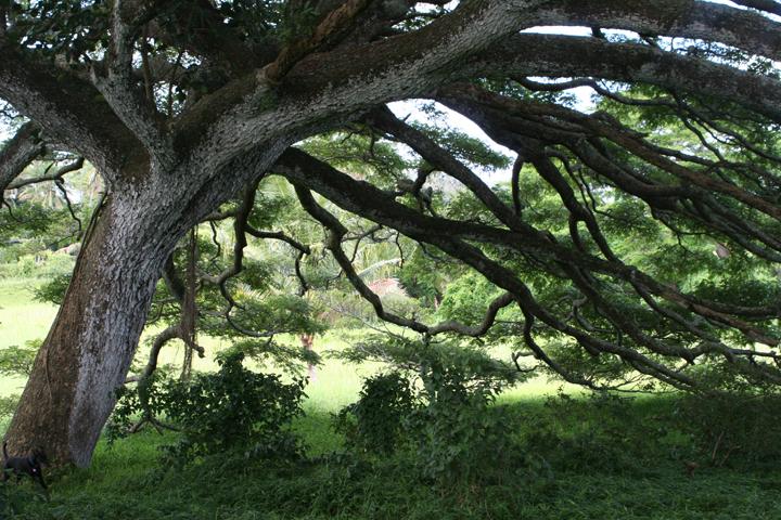 07_Monkey Pod Tree.JPG