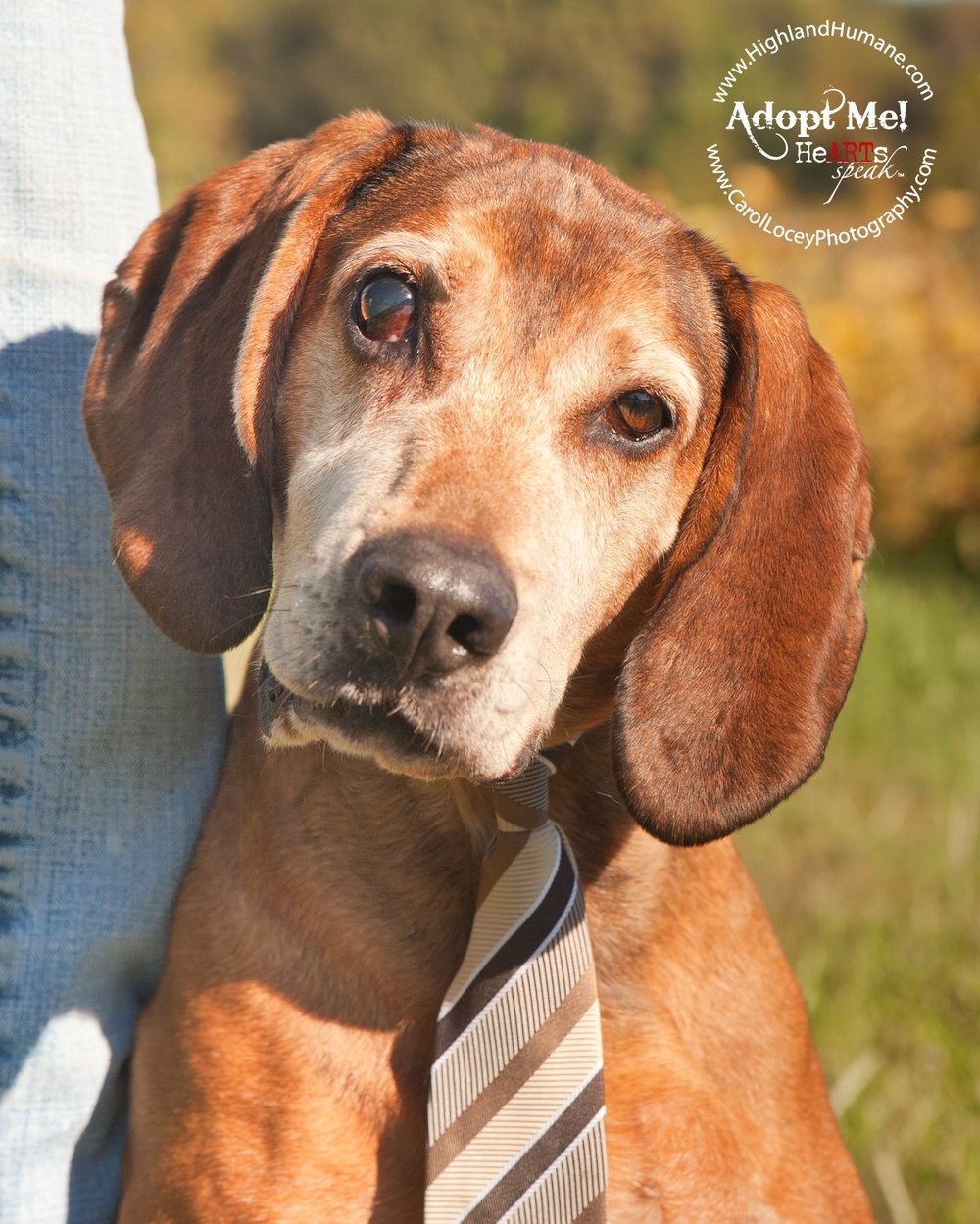 Dan the Coonhound.  He was a Facebook sensation when his story hit social media.  Dan had spent about 10 of his 14 years at the Highland County Humane Shelter.  Luckily, the perfect family for Dan stepped up and adopted him.  I'm told he is now cuddling with his new owners on their sofa and taking daily walks on their 300 acre farm.  I hope your golden years are the best you've ever known Dan.