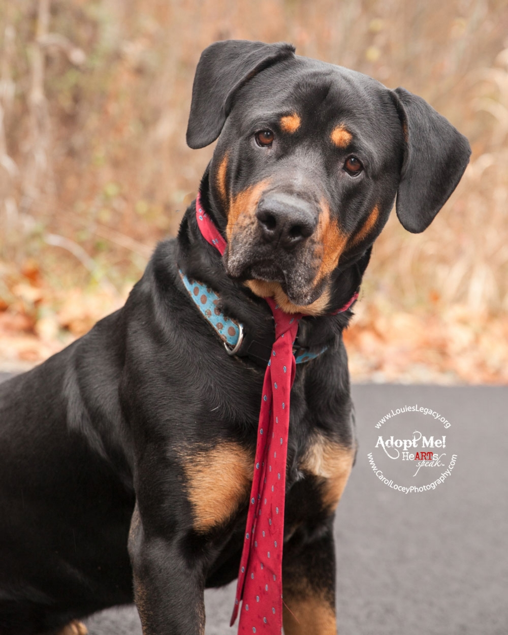 This is Vance and he is a Rottie mix (or full bred?) rescue from Louie's Legacy.  He is a big goofball and this photo perfectly captured his silly side.  I'm happy to report that Vance was adopted and is living his happily ever after!