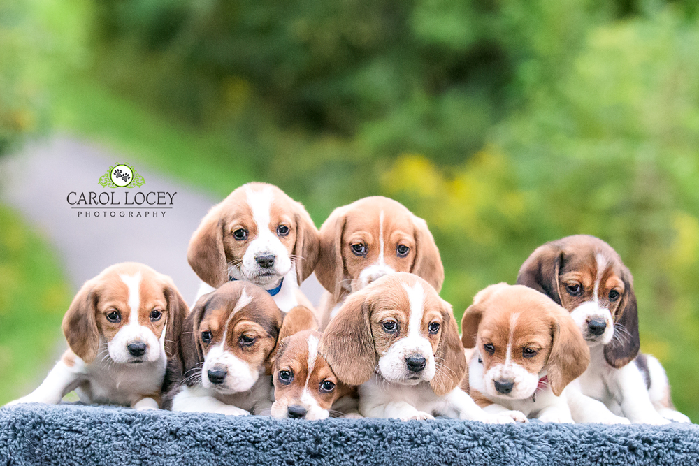 All Basset puppies have been adopted!