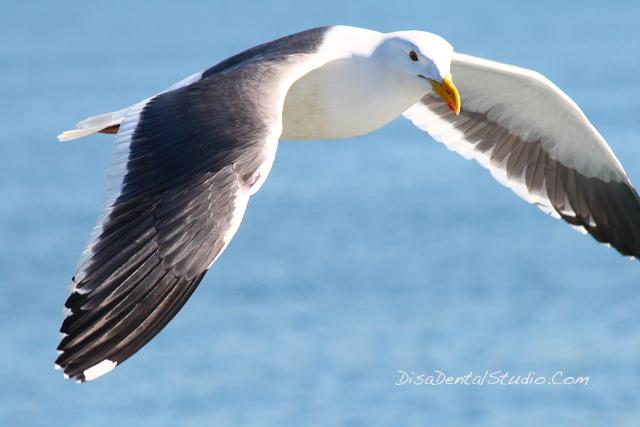 Seagull Long Beach