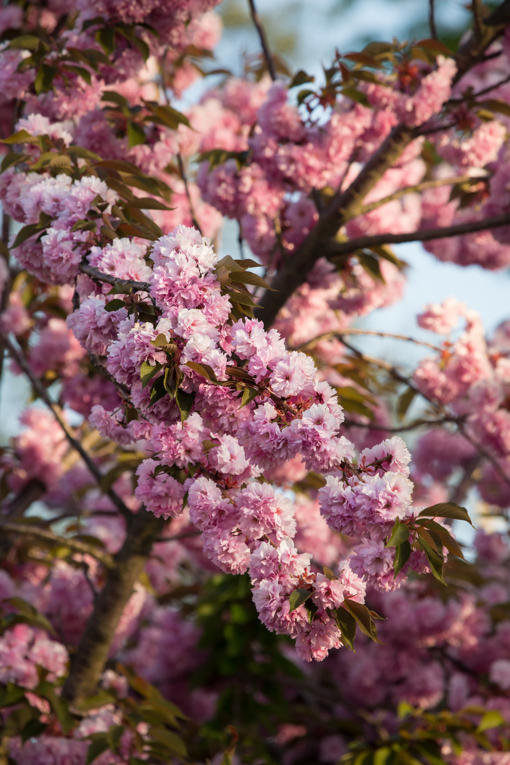 FabioBoscoPhotography_Kwanzan Flowering Cherry-087989.jpg