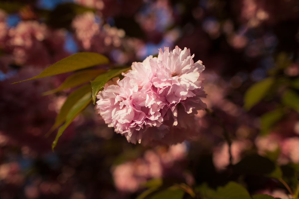 Kwanzan Flowering Cherry Detail