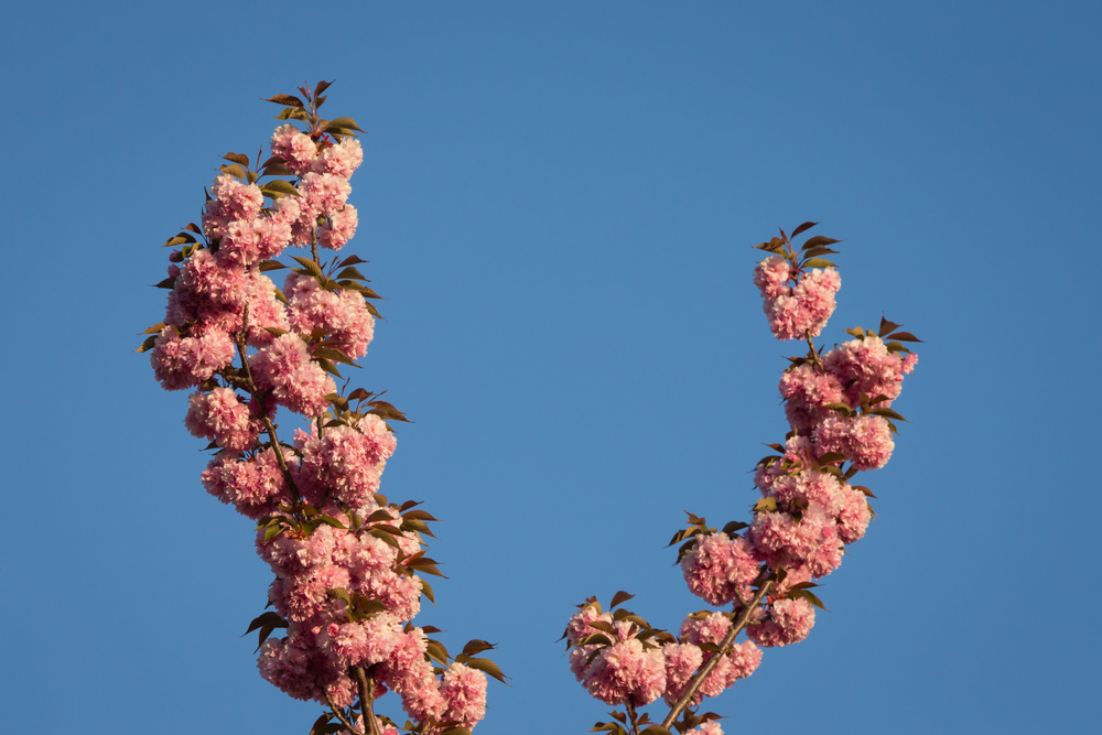 FabioBoscoPhotography_Tall Kwanzan Flowering Cherry Flowers-088004.jpg