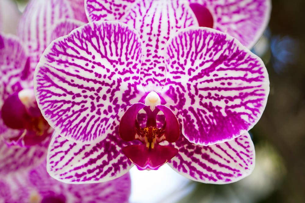 Kiss of the Orchid