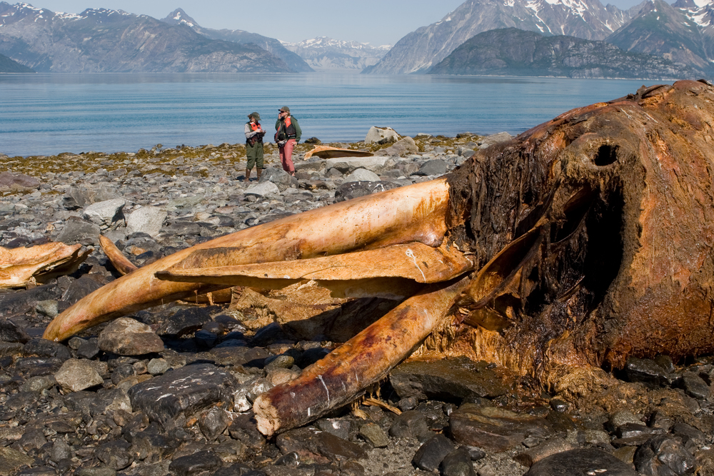 A humpback whale carcass rots on the beach in Glacier Bay National Park.  Park Rangers set up remote cameras to study the predation of the carcass.