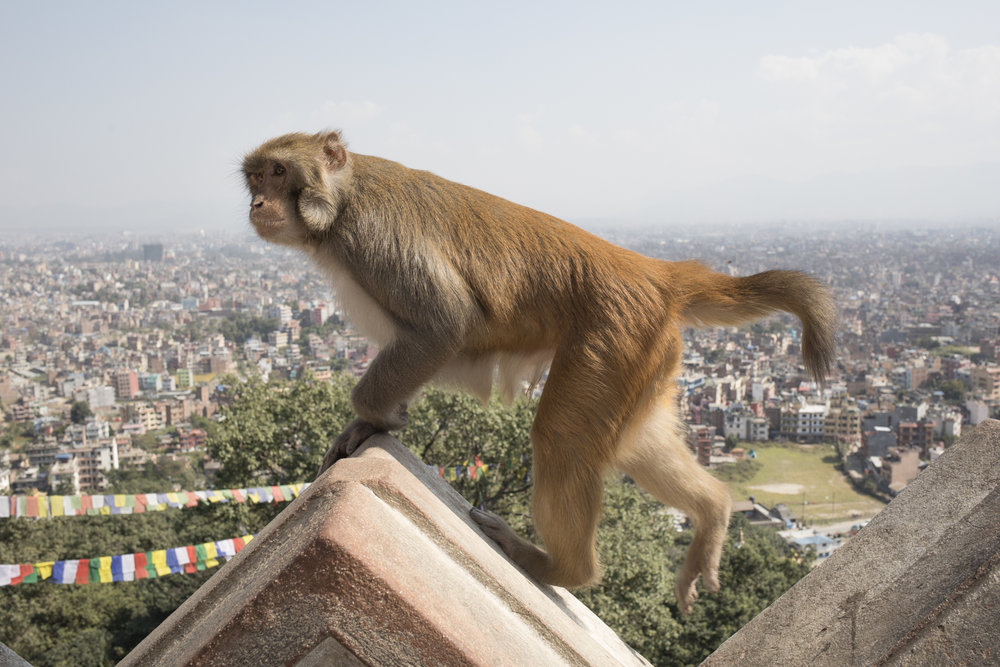 A macaque monkey walks around the temple wall.
