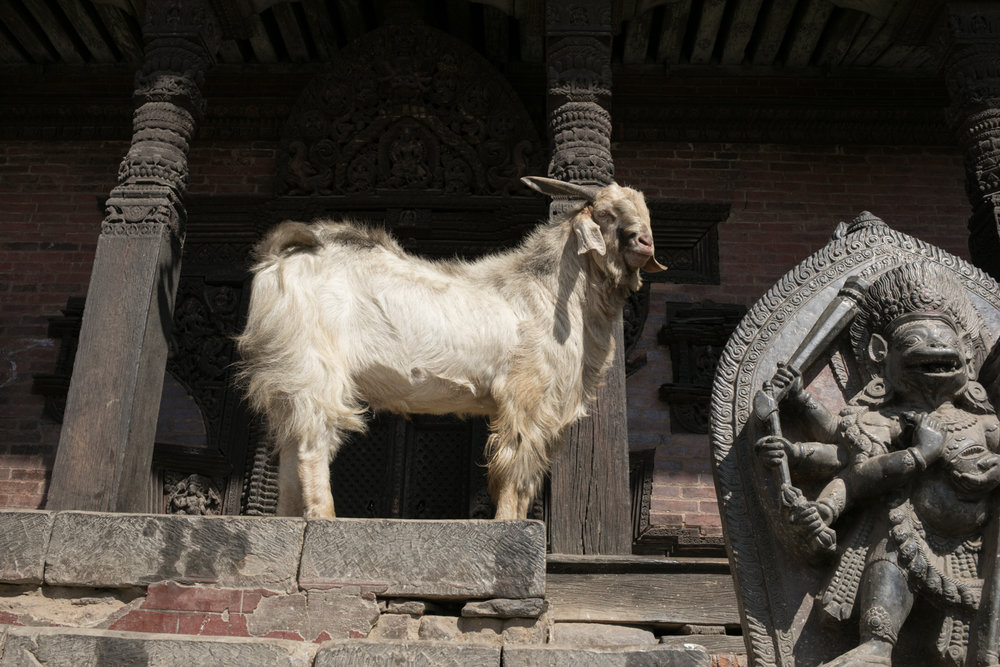 Around many of the temples you will find goats, dogs, cows, and other animals.  Many are left as living sacrifices.  The community helps care for these animals.