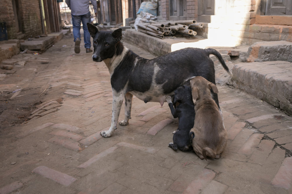 A street dog nurses her pups.