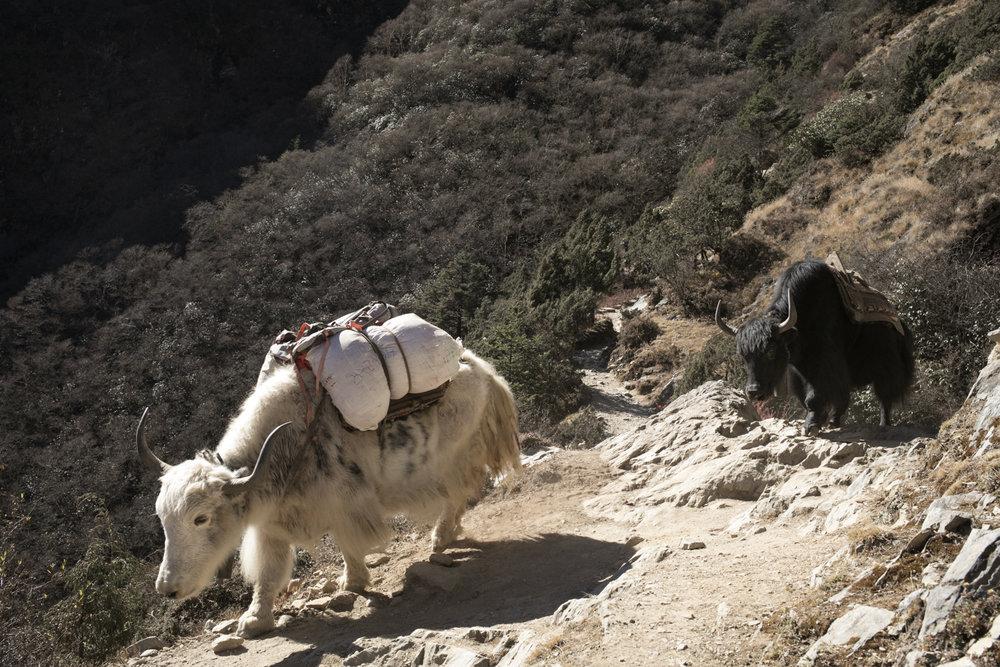Yak along the trail to Phortse.