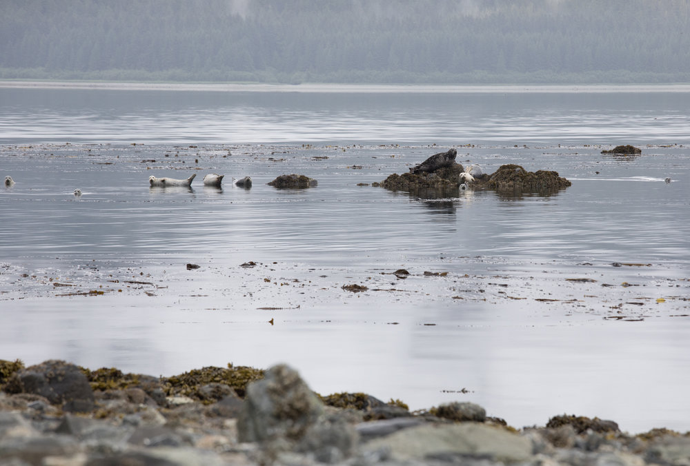 Harbor Seals hauled out on rocks near Shaw Island.  As we paddled to Shaw Island we could see several sets of eyes peering at us from the shallow water.  We tried to give the seals space as we found an area to grab a quick lunch before continuing our crossing across Idaho Inlet.