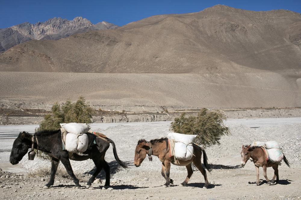 In this region of Nepal horses, mules, and ponies are an essential animal for moving supplies and for traveling.  A newly constructed road is accessible to the region, but it is quite rough in many places.