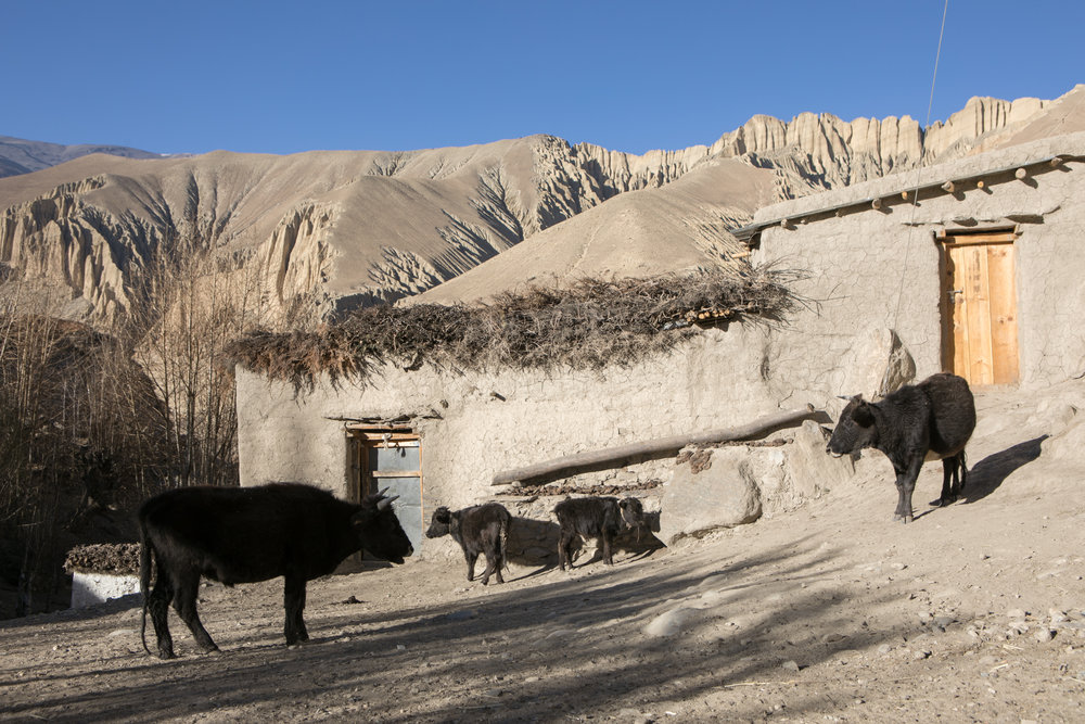 Small cattle.  During our entire trip I was amazed at the size of the cattle.  I grew up on a beef ranch and was used to seeing large, formidable cows.  The cows in Mustang stand about waist high and the calves around knee high.  I feel like each village I yelled to Aaron claiming that I had found the new Smallest Cow of the trip.