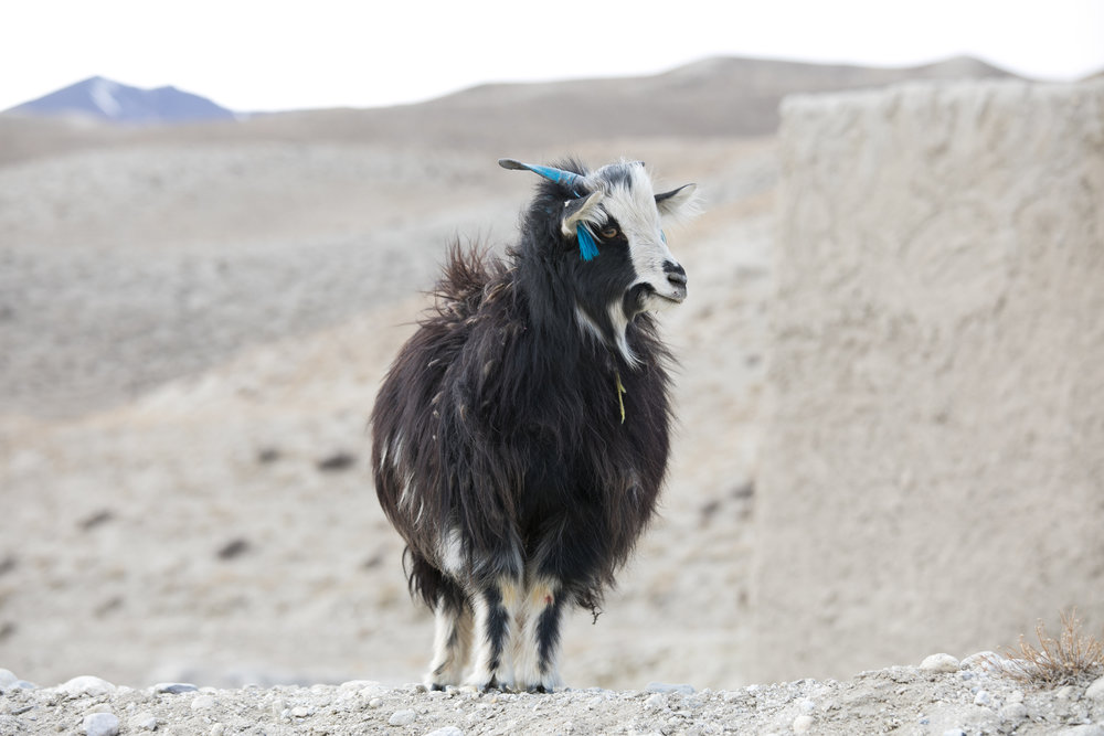 Goat with blue tassle.