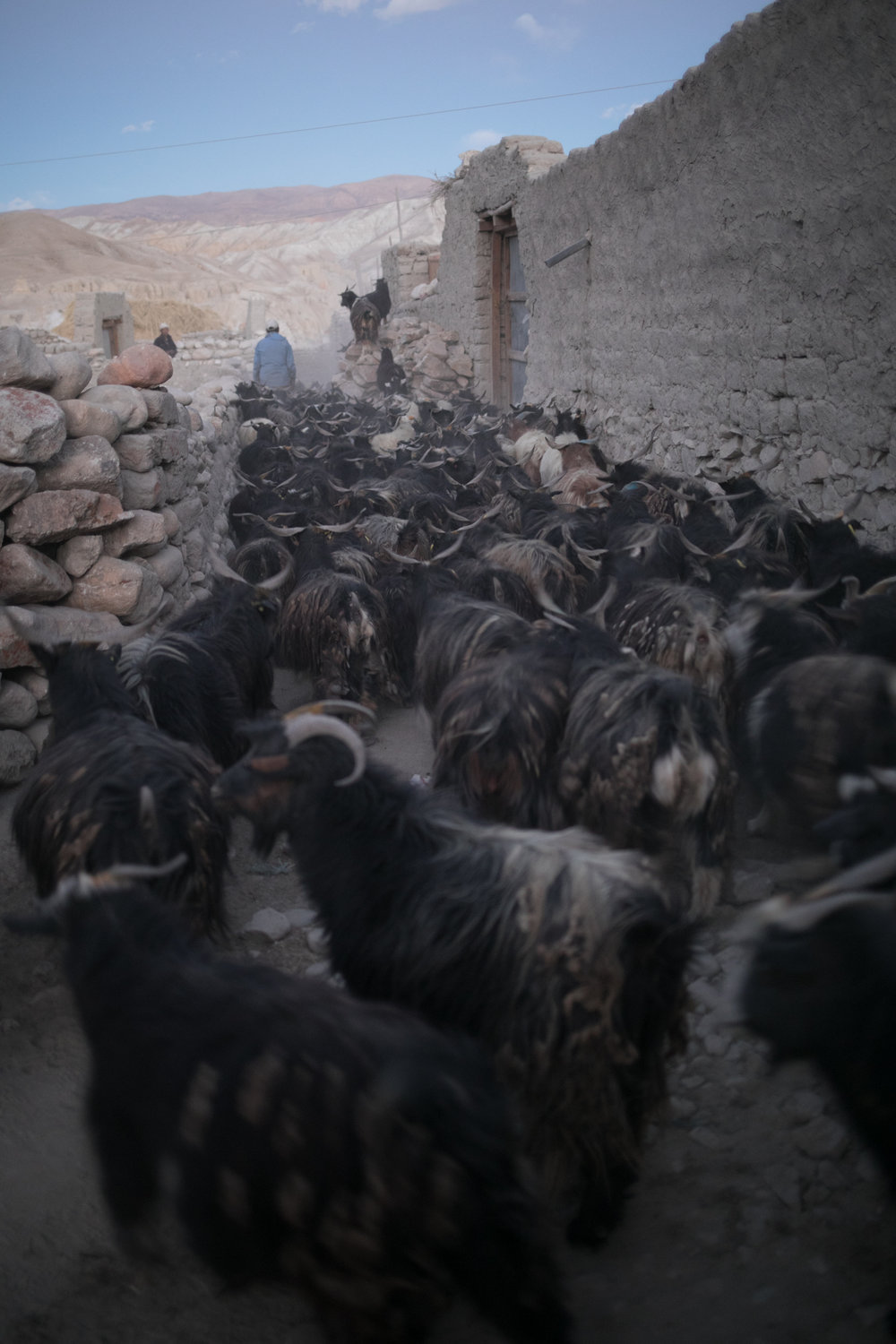 Goats returning to Lo Manthang in the evening.