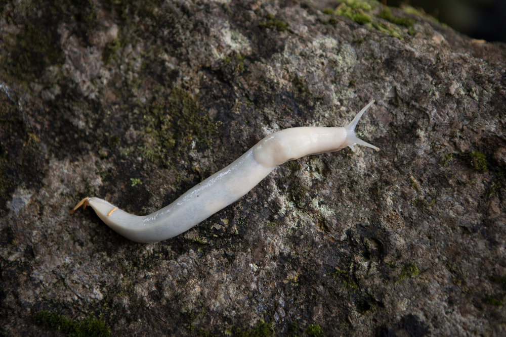 White Banana Slug