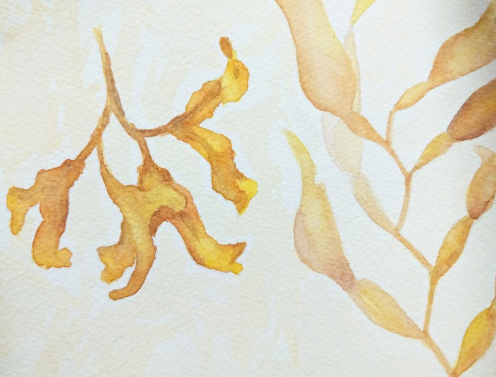 Watercolor Sketch - Kelp