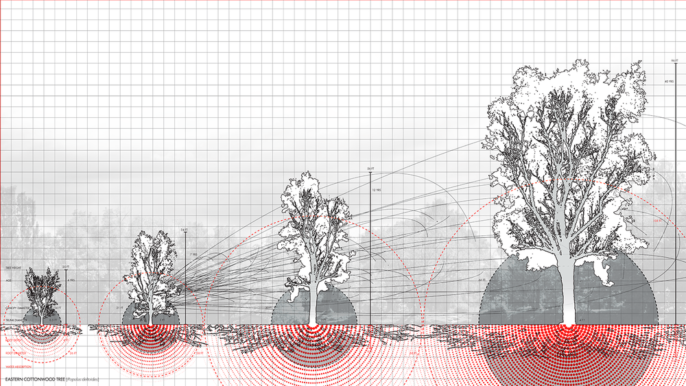z_IIb_DrawerDrawing_2a_Morphology_Cottonwood.png