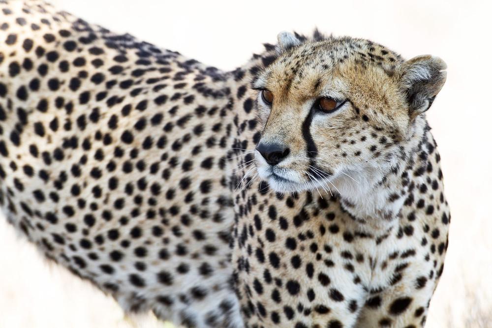 Muench Workshops Serengeti Cheetah.jpg