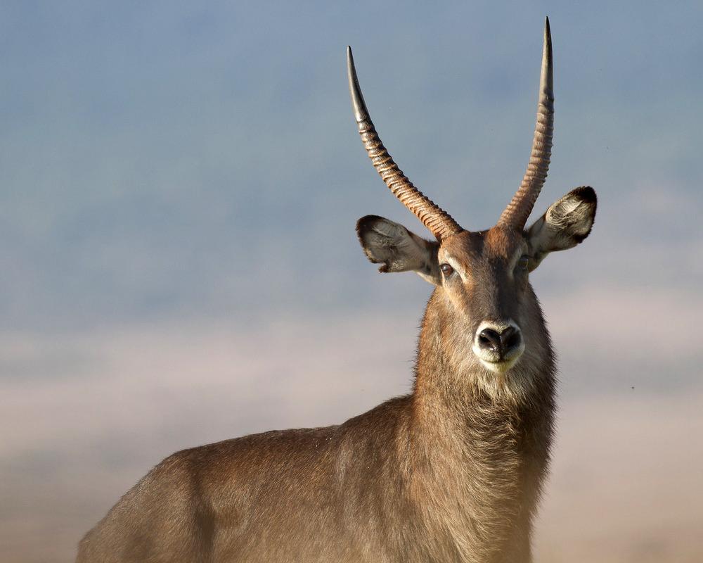 Muench Workshops Serengeti Water Buck.jpg