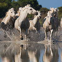 White Horses of the camargue july 2015