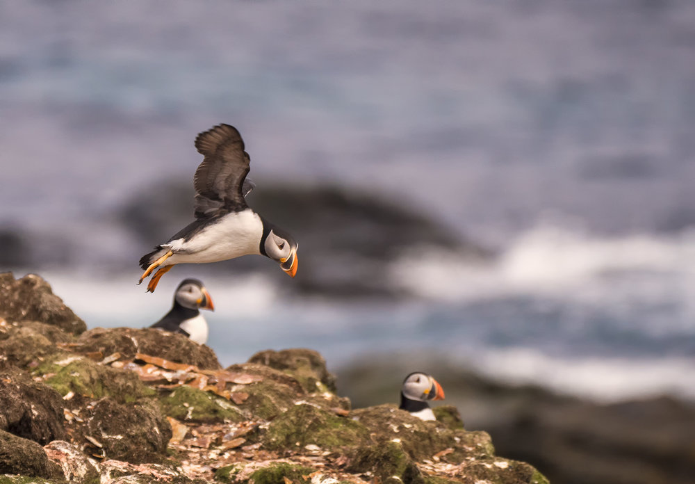 muench-workshops-kevin-pepper-landing puffin.jpg