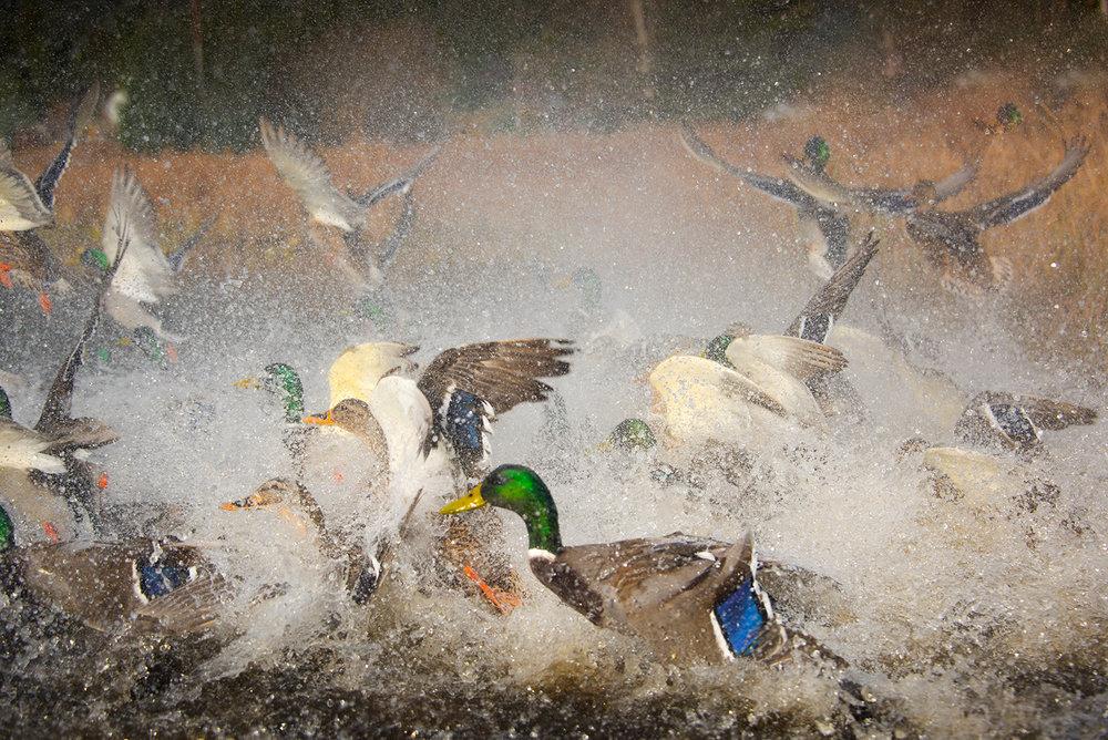 ducks-63.jpg