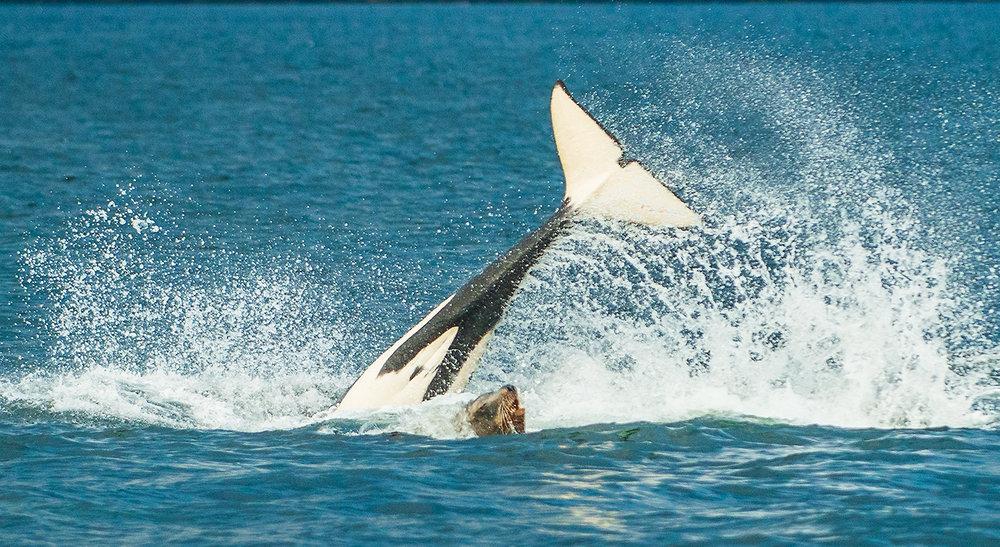 Orca whales-26.jpg