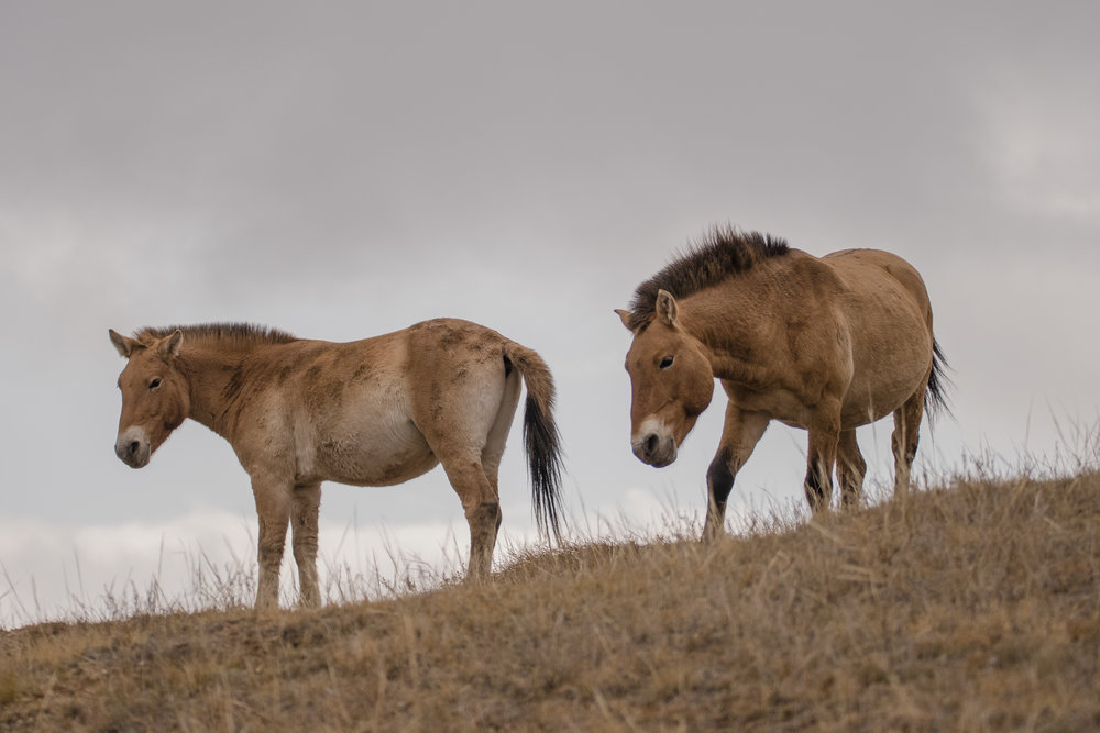 Przewalski horse2.jpg