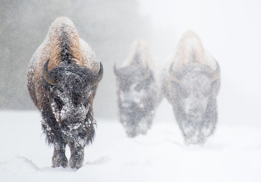Bison, Yellowstone National Park, Wyoming.