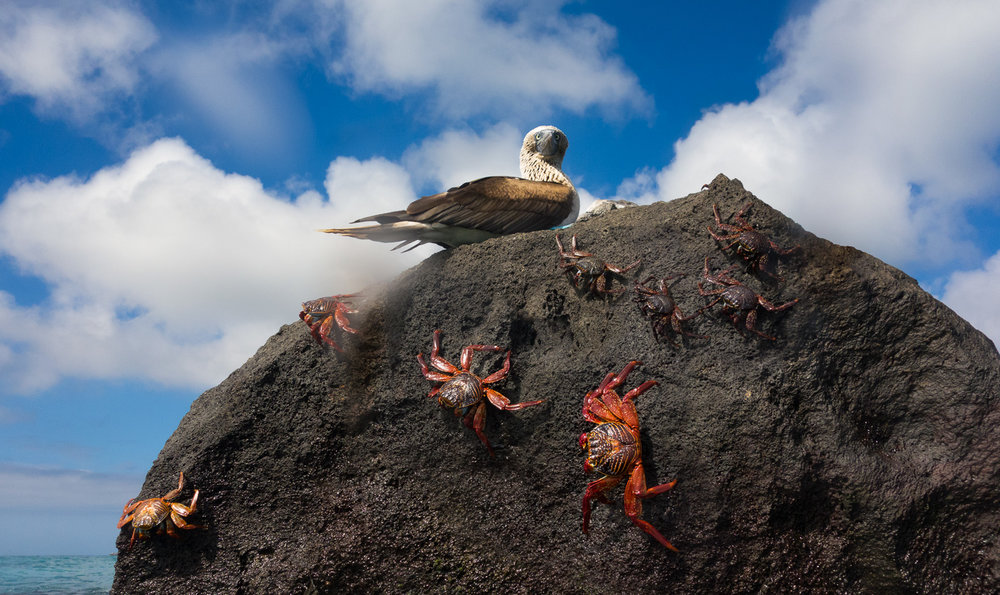 Blue Footed Booby and Sally Lightfoot crabs on lava boulder on Espanola Island, Galapagos Islands