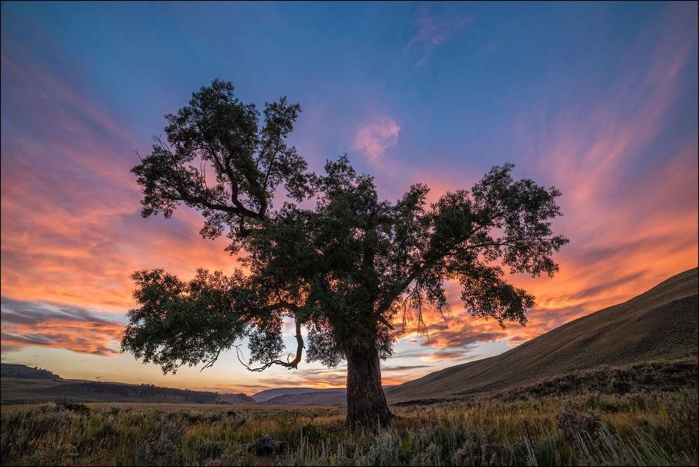 Cottonwood Tree at sunset, Lamar Valley, Yellowstone National Park, Wyoming.