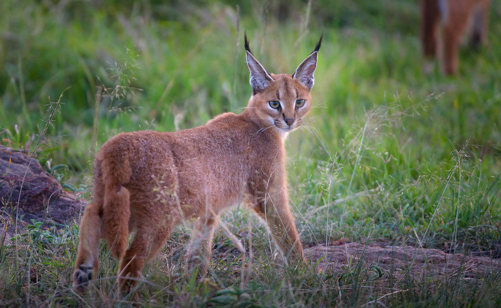 Caracal cat, Maasai Mara National Reserve, Kenya