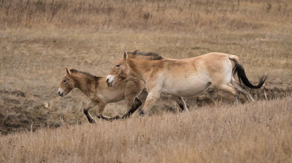 Przewalski+horse.jpg