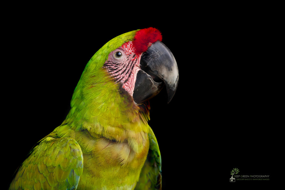 Great Green Macaws are coming back from the brink of extinction in Costa Rica due to conservation efforts. I took this portrait of a wild individual in northern Costa Rica. The soft light and thoughtful expression conveys to me the feeling of hope that the species will indeed survive!