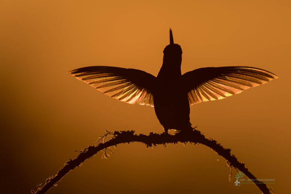 I'd had this type of shot in mind for a while and in fact had even simulated it in Costa Rica and Ecuador with a multi-flash studio setup. I was thrilled when the opportunity to capture a scene with natural light presented itself in the highlands of Costa Rica at the very end of a rare sunny day. This is a  Talamanca Hummingbird (Eugenes spectabilis).Costa RicaCanon 1DxII, Canon 600 mm f/4, tripod, f/5.6, 1/6400, ISO 100