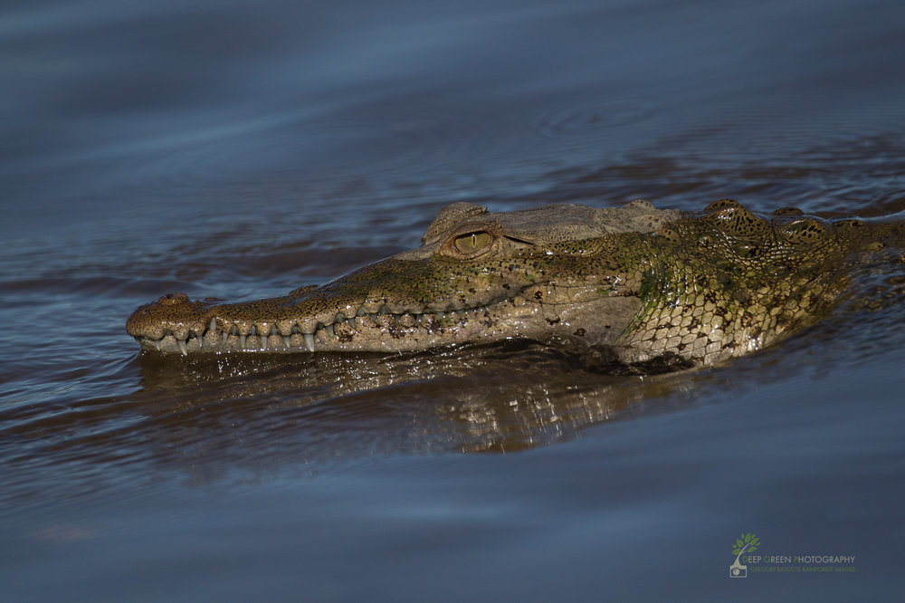 A juvenile American crocodile lounges on the banks of Costa Rica's Tarcoles River