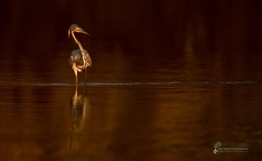 Tri-colored heron, Tarcoles River, Costa Rica
