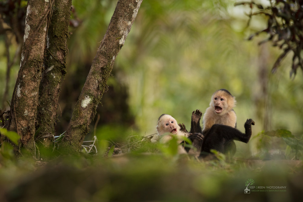 White-faced capuchin monkey juveniles tussle at a forest edge in northern Costa Rica