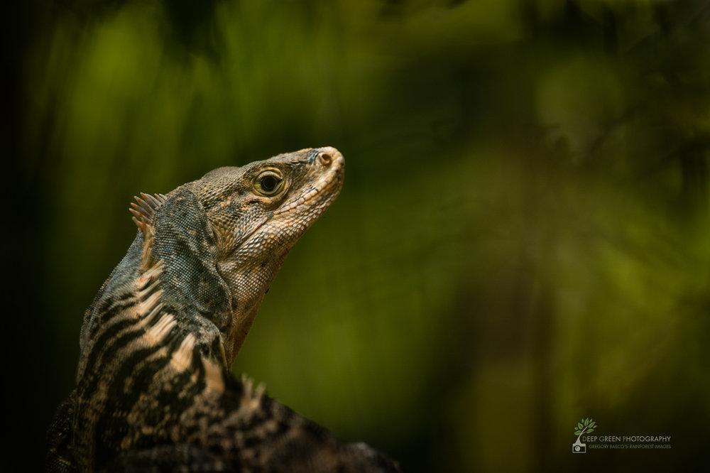 Spiny iguana, Manuel Antonio National Park, Costa Rica