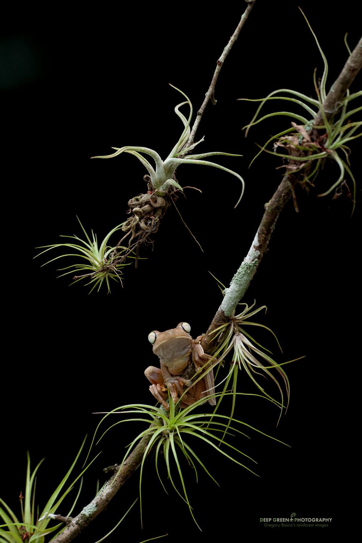 Gladiator tree frog on a bromeliad-laden branch near Carara National Park