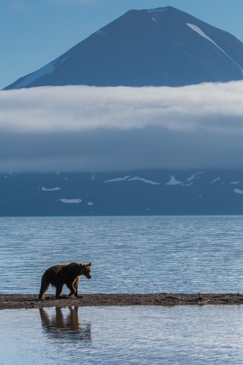 ©Denis Budkov Bear at Kurliskoye Lake Kamchatka.JPG