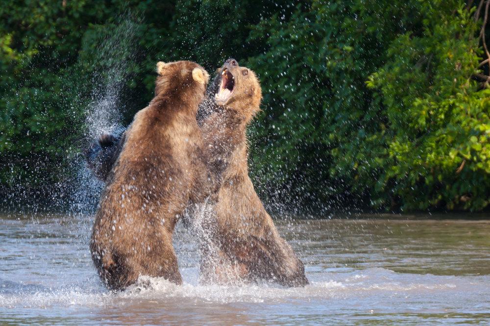 ©Denis Budkov Brown bears at Kurilskoye Lake Kamchatka (1).JPG
