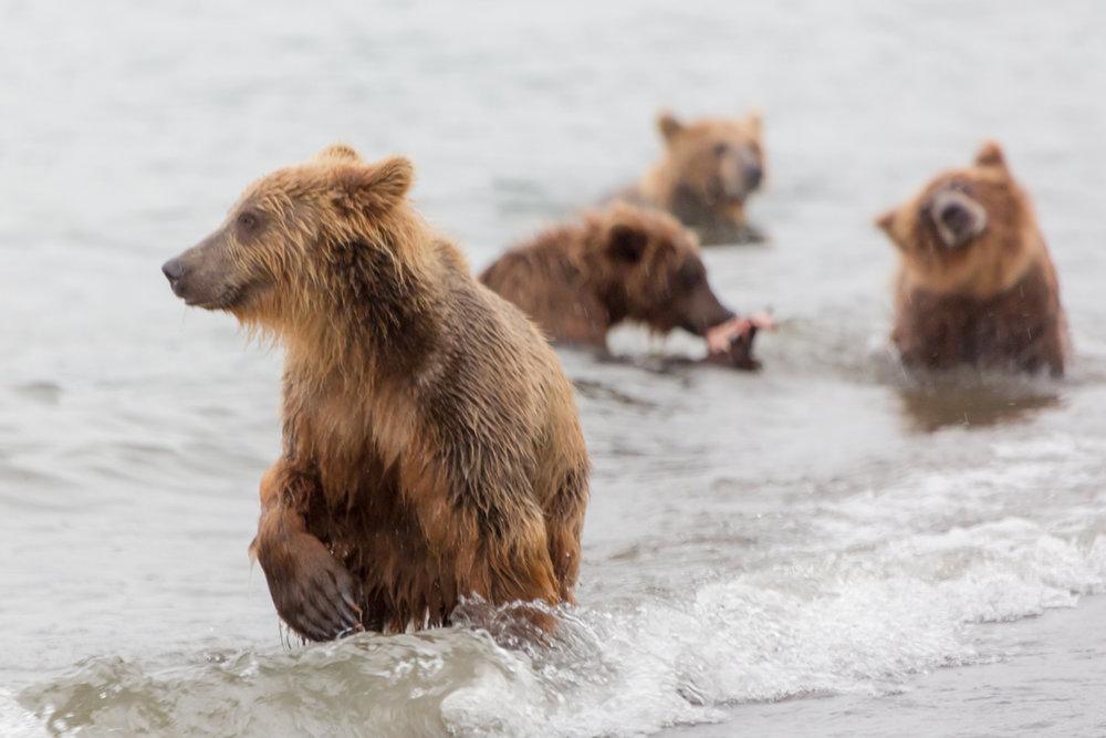 ©Denis Budkov brown bears family Kurilskoye Lake Kamchatka.JPG