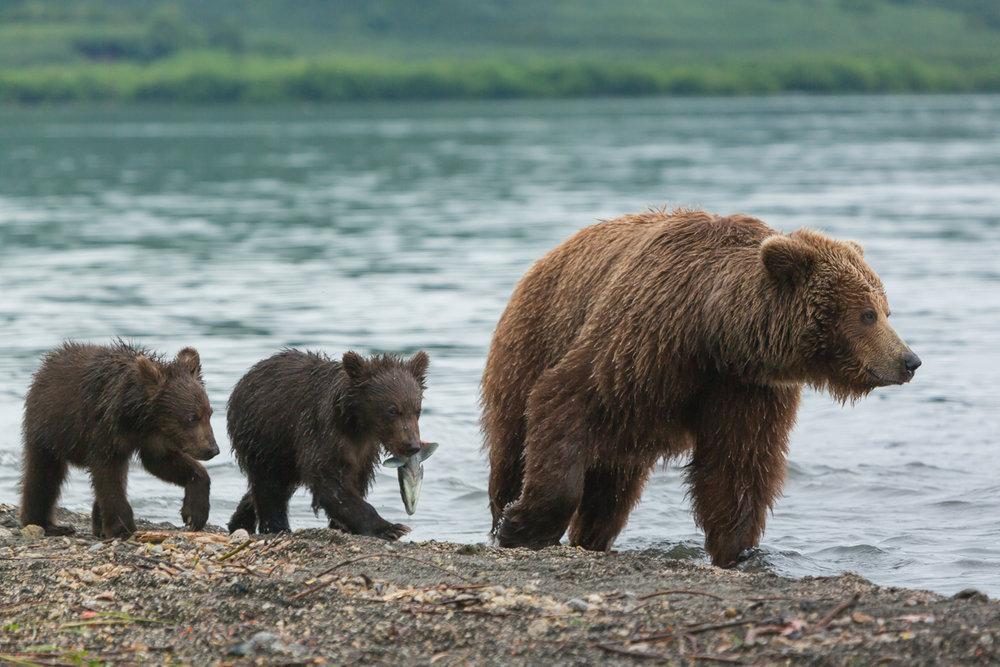 ©Denis Budkov brown bears on the lake Kurilskoye Kamchatka.JPG